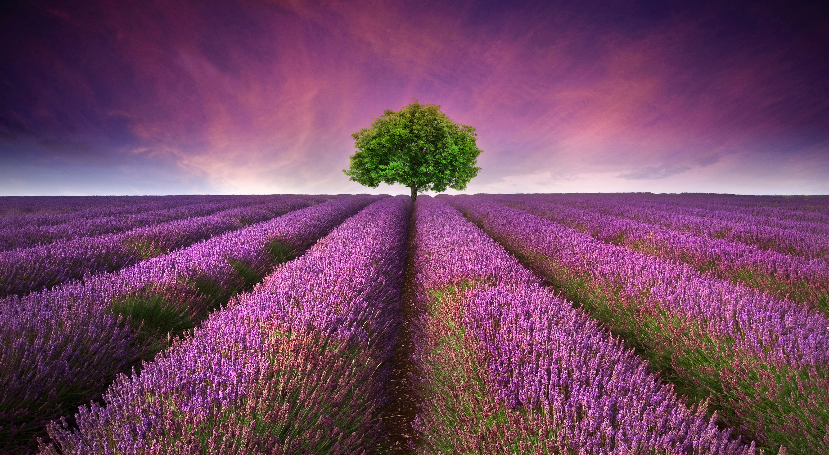 Young Living Essential Oils: Stunning Lavender Field Landscape